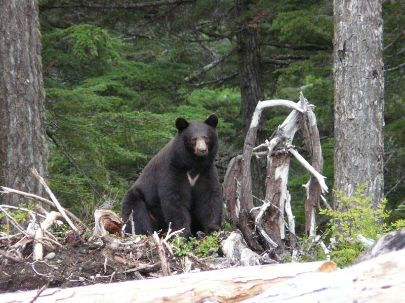 Black Bear At Lodge